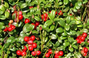 Брусничный лист: полезные свойства, противопоказания, польза и вред