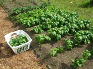Выращивание и распространение