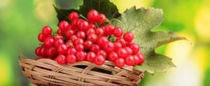 Калина красная: полезные свойства, противопоказания, польза и вред