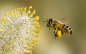 Особенности выбора качественной пчелиной пыльцы