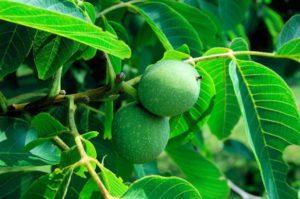 Состав и лечебные свойства листьев грецкого ореха