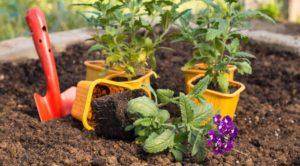 Выращивание вербены из семян в домашних условиях