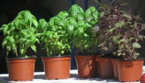 Выращивание растения в домашних условиях, сбор и заготовка