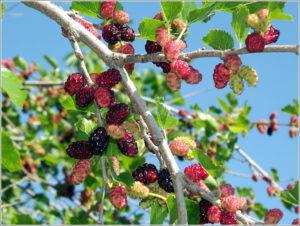 Где растет, как выглядит и какой вкус у ягод?