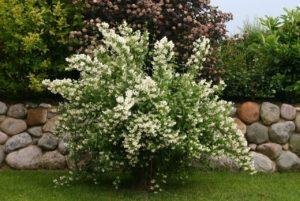 Жасмин садовый посадка и уход