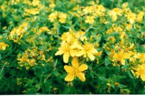 Зверобой трава: полезные свойства, противопоказания, польза и вред