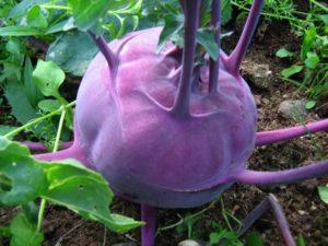 Кольраби: полезные свойства, противопоказания, польза и вред