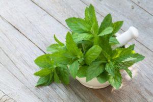 Мелисса трава: полезные свойства, противопоказания, польза и вред