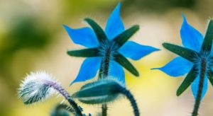 Огуречная трава: полезные свойства, противопоказания, польза и вред