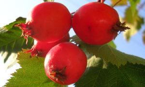 Плоды боярышника: полезные свойства, противопоказания, польза и вред