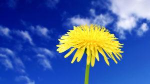 Полезные свойства одуванчика: противопоказания, польза и вред