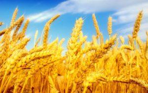 Полезные свойства пшеницы: противопоказания, польза и вред