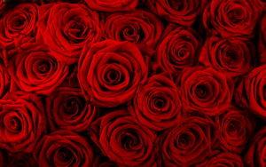 Полезные свойства розы: противопоказания, польза и вред