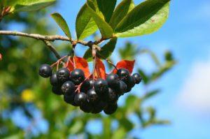 Полезные свойства черноплодной рябины: противопоказания, польза и вред