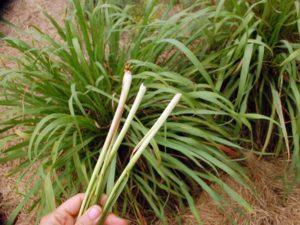 Преимущества растения