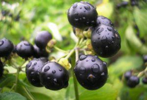 Санберри: полезные свойства, противопоказания, польза и вред
