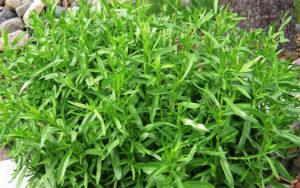 Тархун трава: полезные свойства, противопоказания, польза и вред