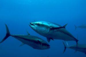 Тунец: полезные свойства, противопоказания, польза и вред