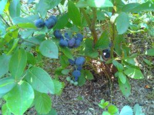 Условие выращивания кустарника