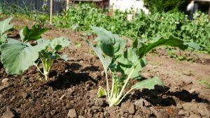 Уход за капустой кольраби в открытом грунте
