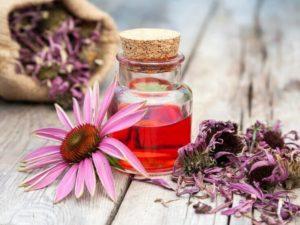 Эхинацея: полезные свойства, противопоказания, польза и вред