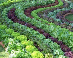 Выращивание из семян салата айсберг в открытом грунте