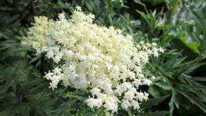 В чем польза цветков, листьев и коры растения