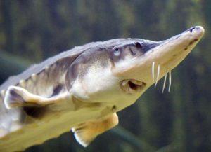 Из какой рыбы добывается черная икра