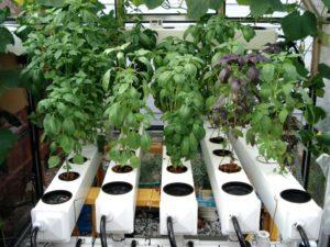 Нюансы выращивания в домашних условиях