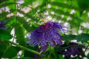 Пассифлора: полезные свойства, противопоказания, польза и вред