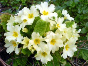 Первоцвет: полезные свойства, противопоказания, польза и вред